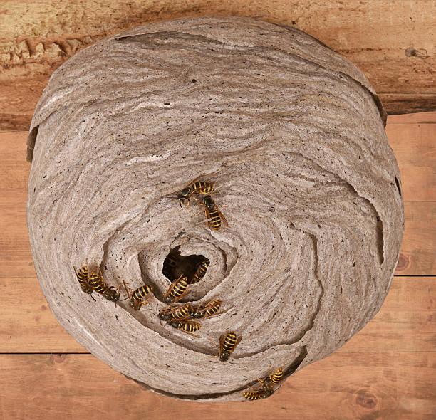 wasps  - eierstich stock-fotos und bilder