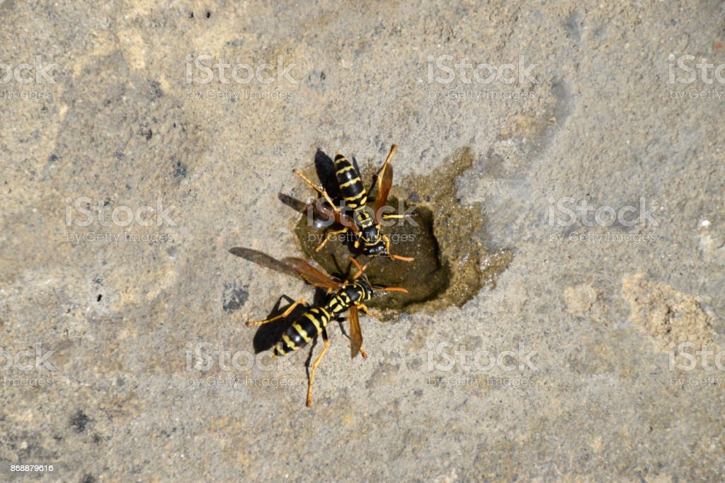 Wasps Polistes drink water stock photo