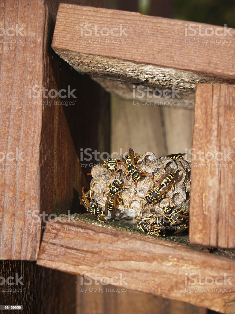 Wasps Working on Their Nest royalty-free stock photo