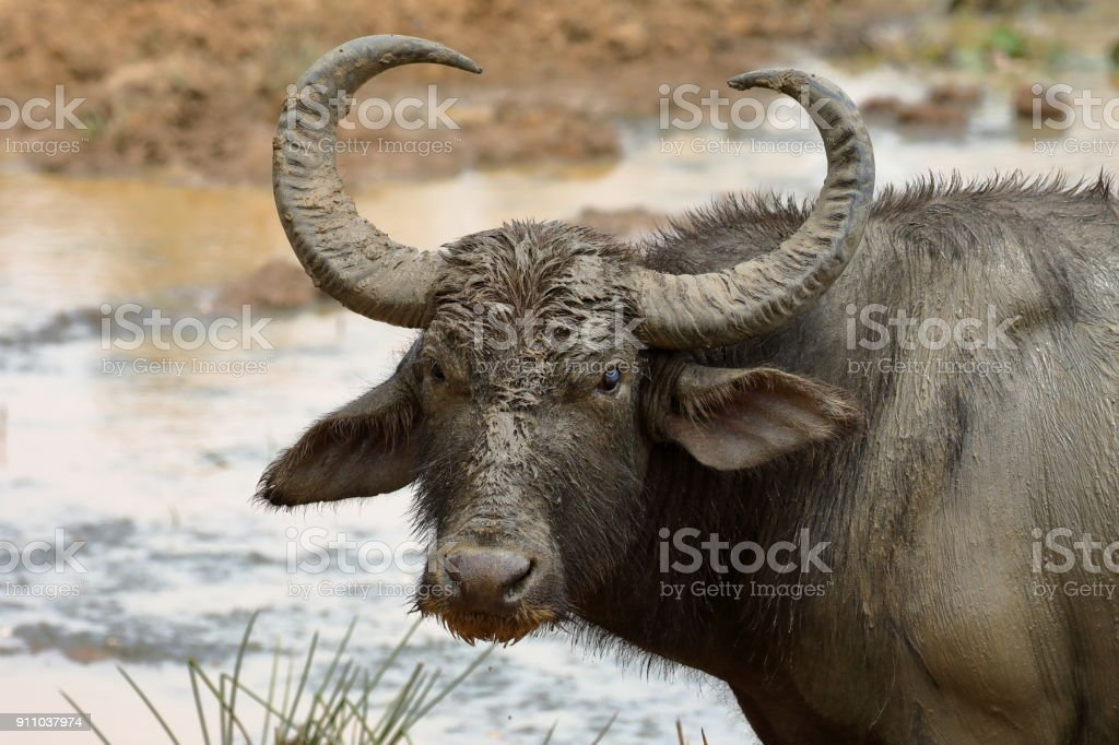 Wasserbüffel im Yala Nationalpark in Sri Lanka - foto stock