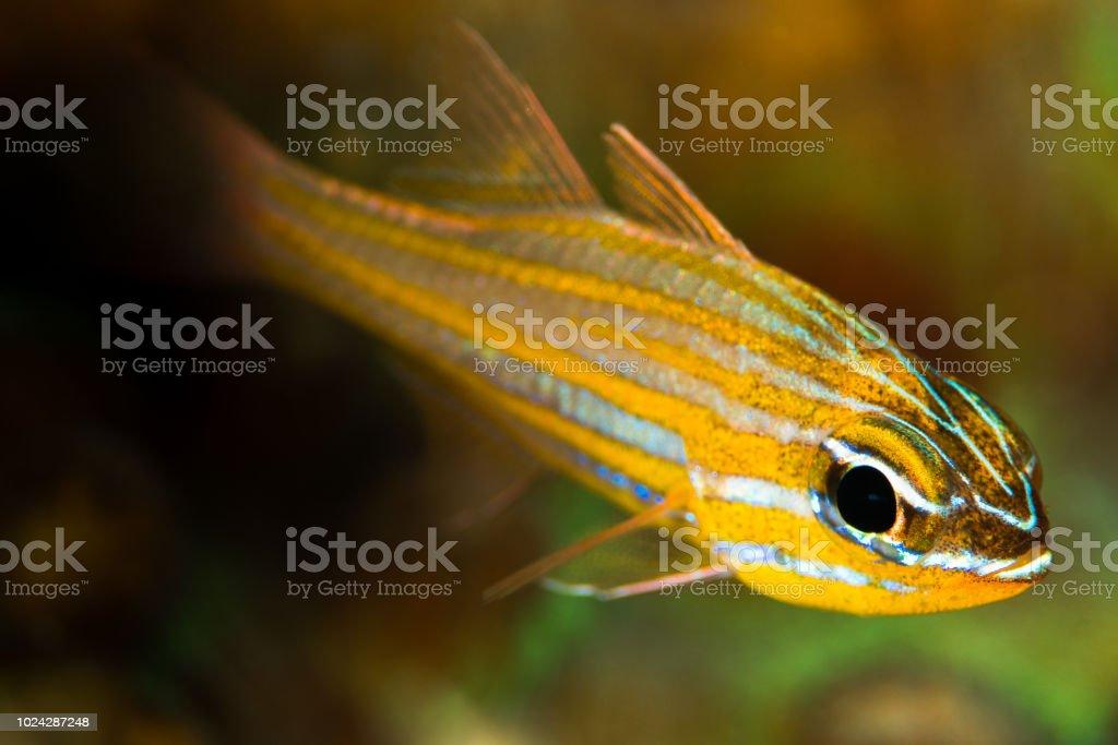 wassinki cardinalfish fish stock photo