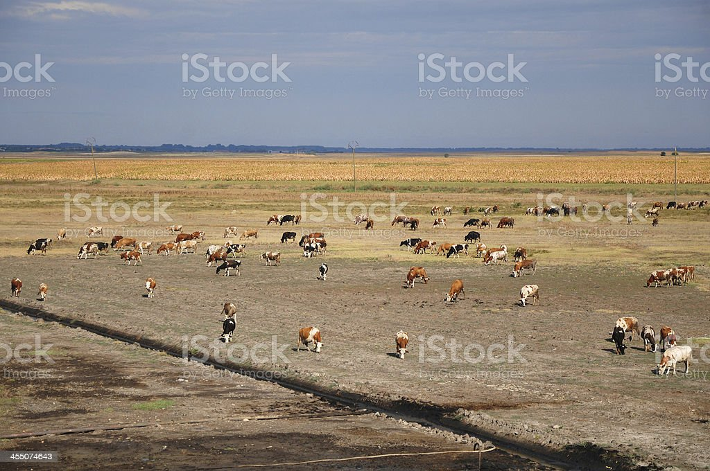 waste oil and cows stock photo