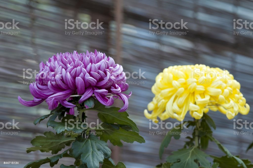 Watch large-flowered Chrysanthemum stock photo