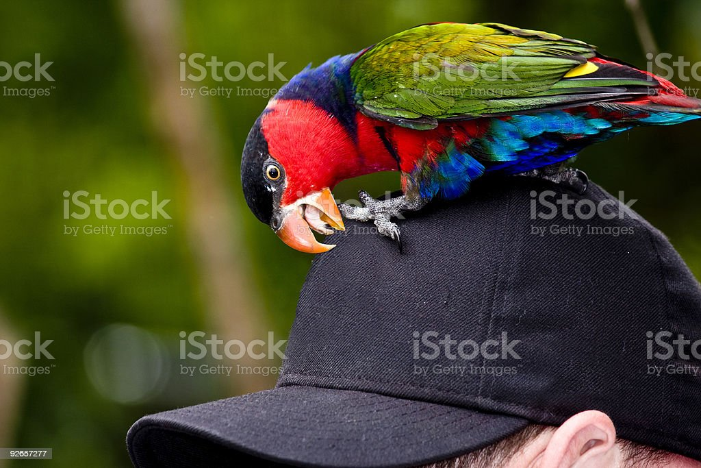Watch Out for the Lorikeet! royalty-free stock photo