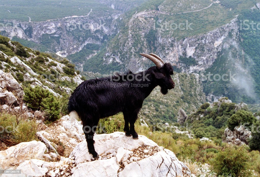 Watch out goat! royalty-free stock photo