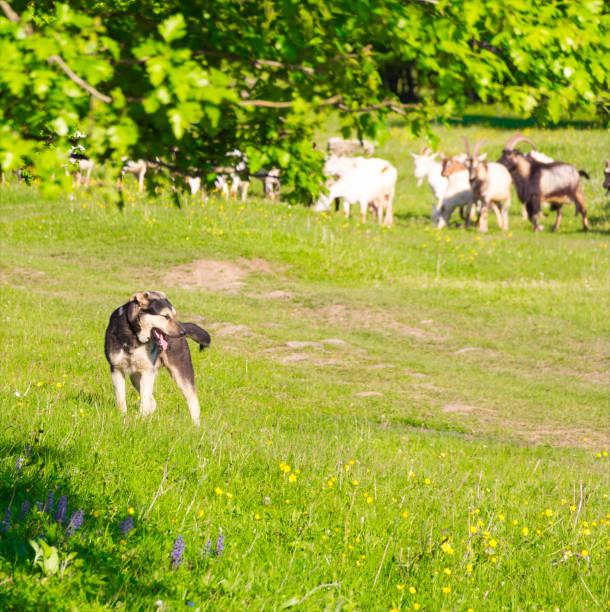 watchdog guards a herd of goats to pasture - hundeplätze stock-fotos und bilder