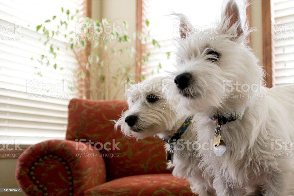 Cani da guardia foto stock royalty-free