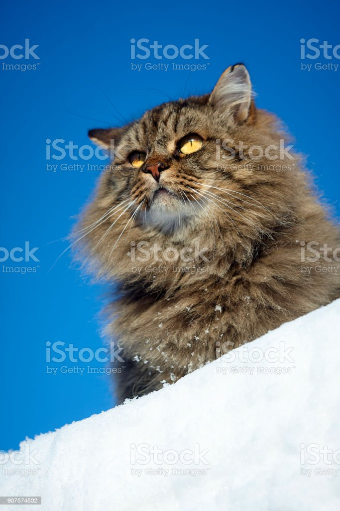 watchful alerted siberian cat on clear sky and snow background stock photo