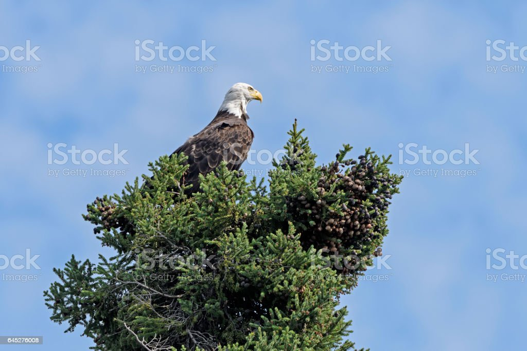 Watchful Bald Eagle in a Tree stock photo