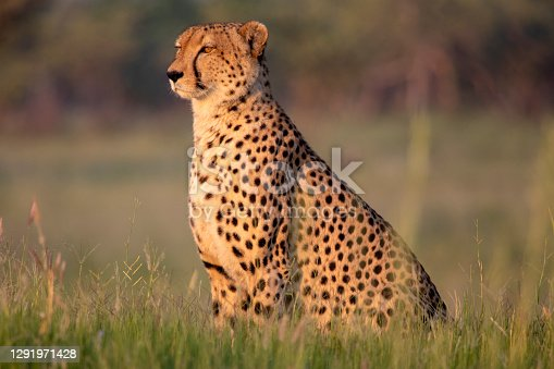 istock Watchful Cheetah 1291971428