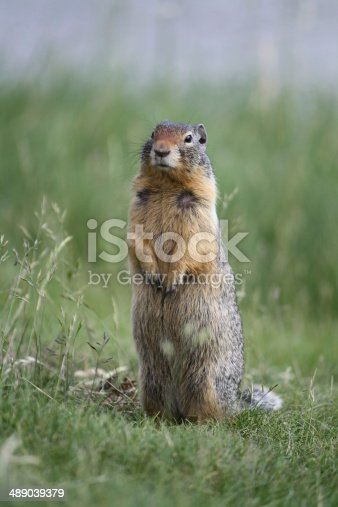 Ground squirrel observing the area