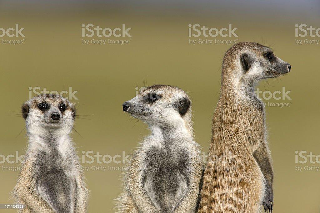 Waches Meerkats – Foto