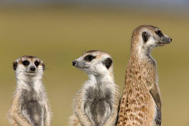 watchful meerkats - meerkat stock photos and pictures