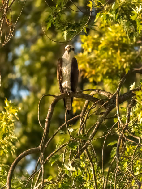 Watchful osprey perched on branch in Summer stock photo