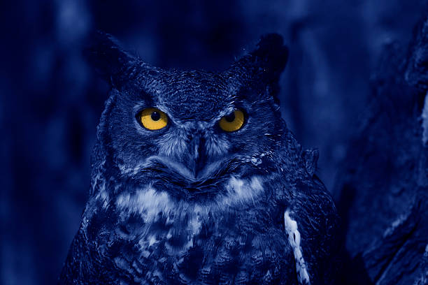 watchful owl at night - amerikaanse oehoe stockfoto's en -beelden