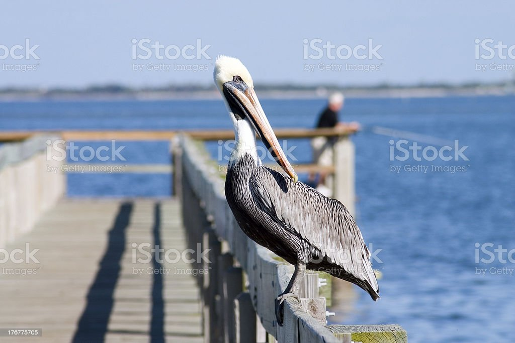 Watchful Pelican royalty-free stock photo