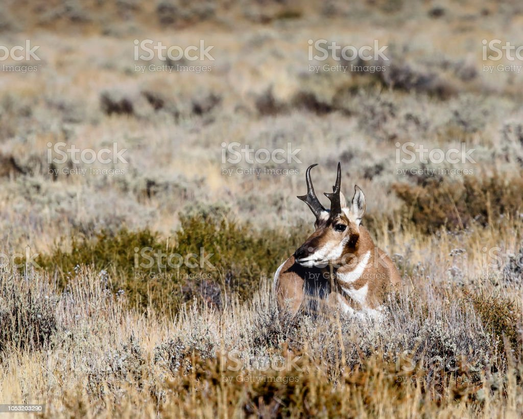 Watchful pronghorn buck stock photo