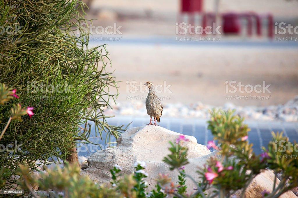 Watchful sandgrouse on Sir Bani Yas island, UAE stock photo