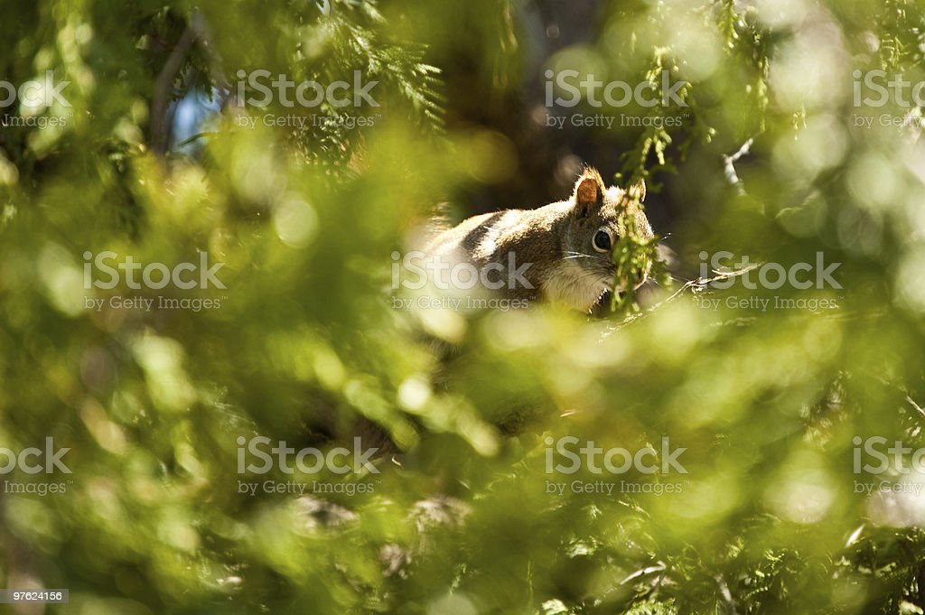 Watchful Squirrel in a Green Cedar Tree royaltyfri bildbanksbilder