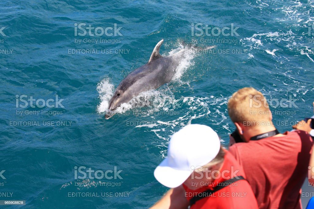 Watching a common bottlenose dolphin in Paihia, Bay of Islands, New Zealand - Стоковые фото XXI век роялти-фри