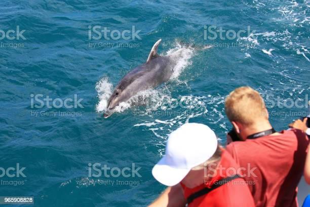 Watching A Common Bottlenose Dolphin In Paihia Bay Of Islands New Zealand — стоковые фотографии и другие картинки XXI век