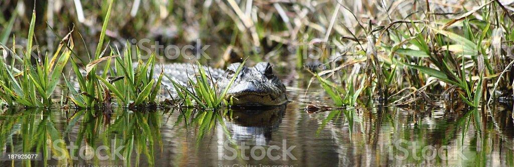 Watching Alligator Behind Grass stock photo