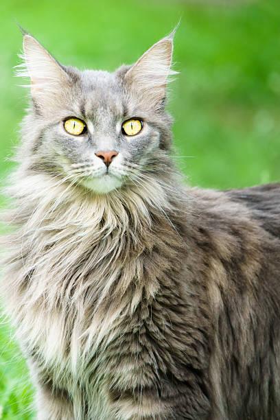 Watching Gray Tabby Cat stock photo
