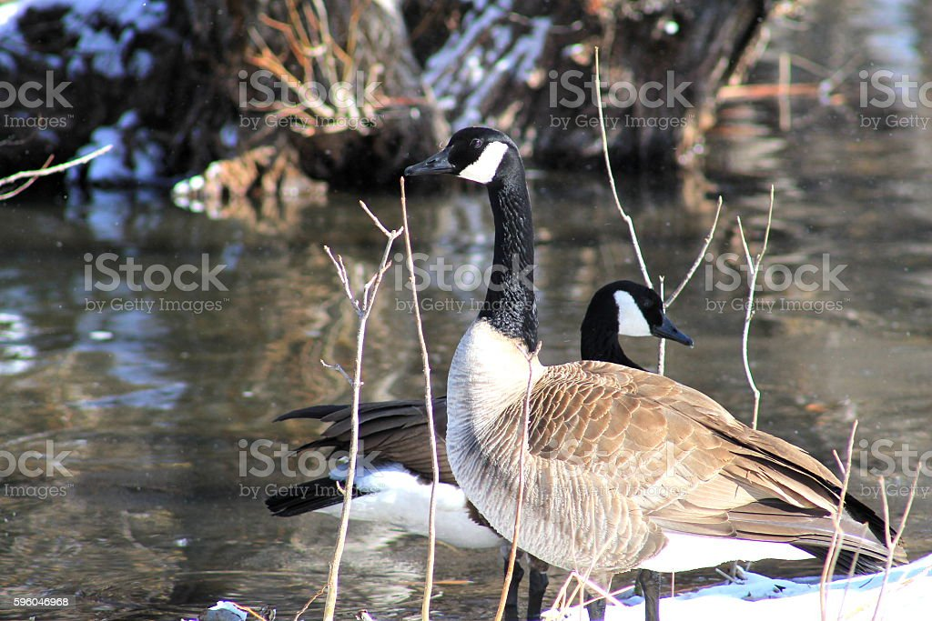 Watching the gander royalty-free stock photo