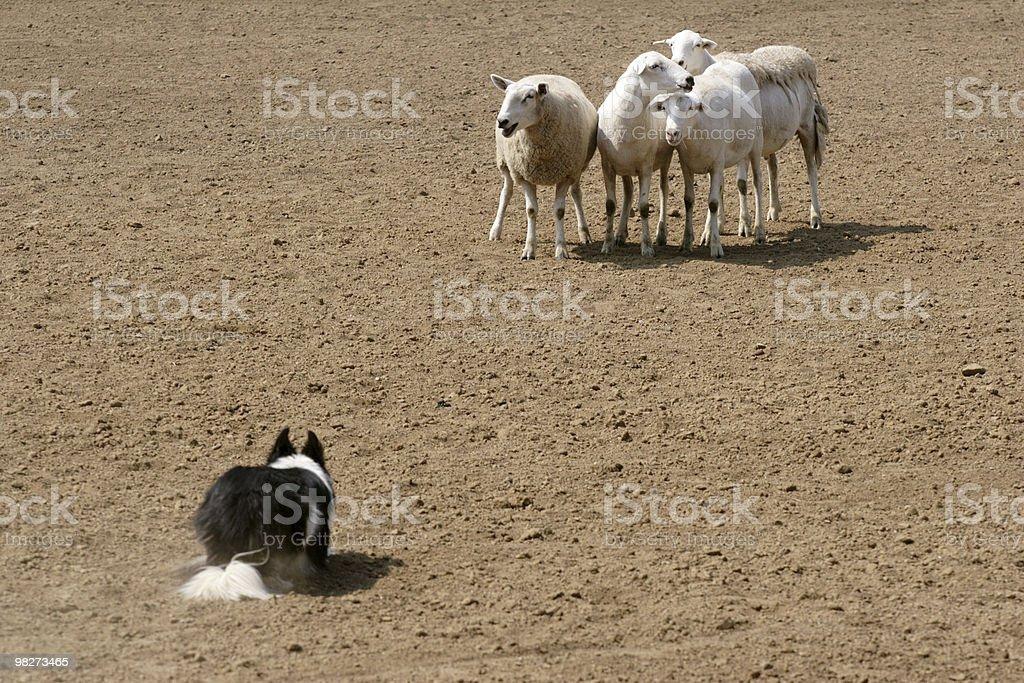 Watching the Sheep royalty-free stock photo