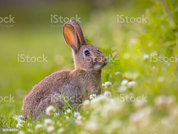 Watching wild european rabbit picture id503488234?b=1&k=6&m=503488234&s=612x612&h=a2q pbdufqvah6zb bcfyb5uop2qzblivkjhfugazl8=