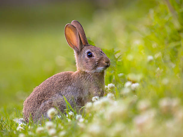 watching wild european rabbit - wildlife stock photos and pictures