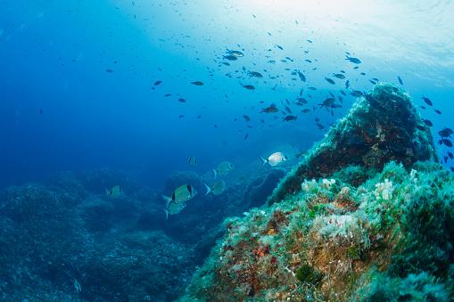 Water animals Sargo or white seabream fish Underwater  in sea Sea life Mediterranean sea Scuba diver point of view