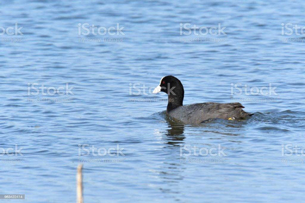 oiseau aquatique manteau flottant sur le lac bleu - Photo de Aile d'animal libre de droits