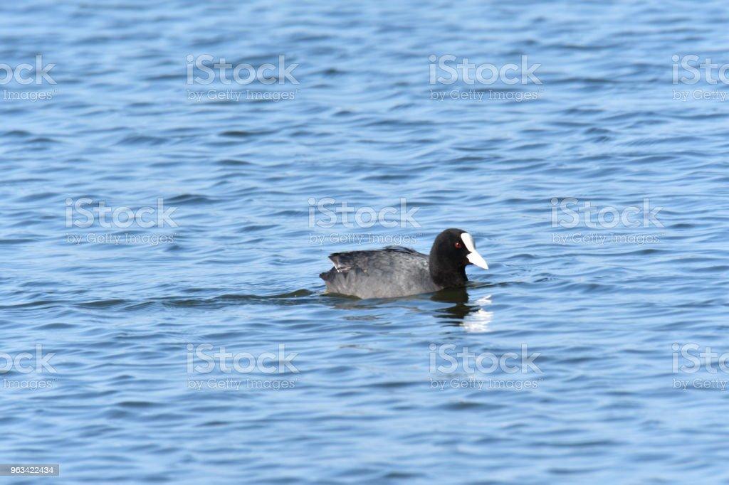 water bird coat floating on the blue lake - Zbiór zdjęć royalty-free (Część ciała zwierzęcia)
