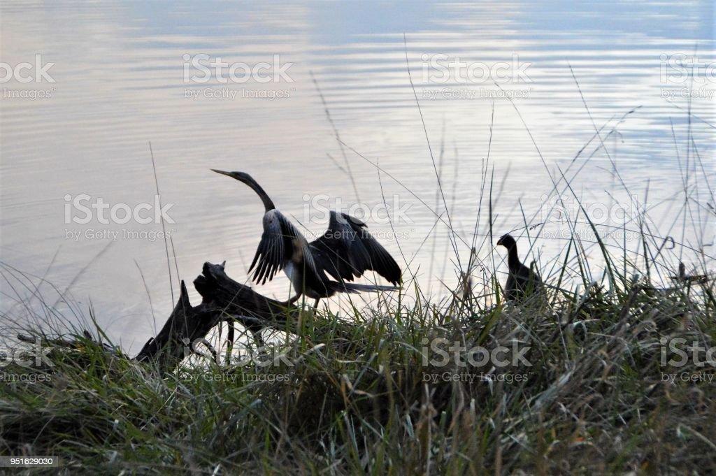 Water bird stock photo