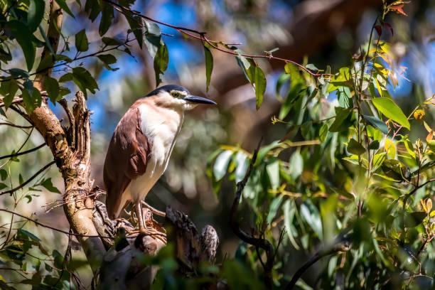 Wasservogel sitzt in einem Baum in New South Wales Australien während eines sonnigen und heißen Tages im Sommer. – Foto