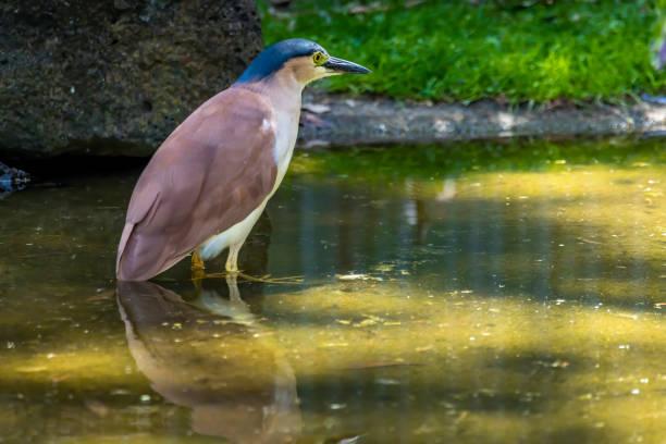 Wasservogel im Wasser in New South Wales Australien während eines sonnigen und heißen Tag im Sommer stehen. – Foto