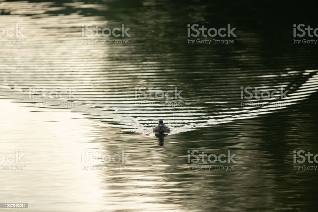 Water bird swimming towards the camera with ripples behind. stock photo