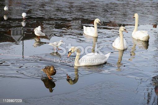 A miscellany of water birds at Mitcham pond / Three Kings Pond, Mitcham, Surrey, England. Seen here: laughing gulls / blackheaded gull (Larud ridibundus); four mute swans (Cygnus olor), and mallard duck female (Anas platyrhynchos).