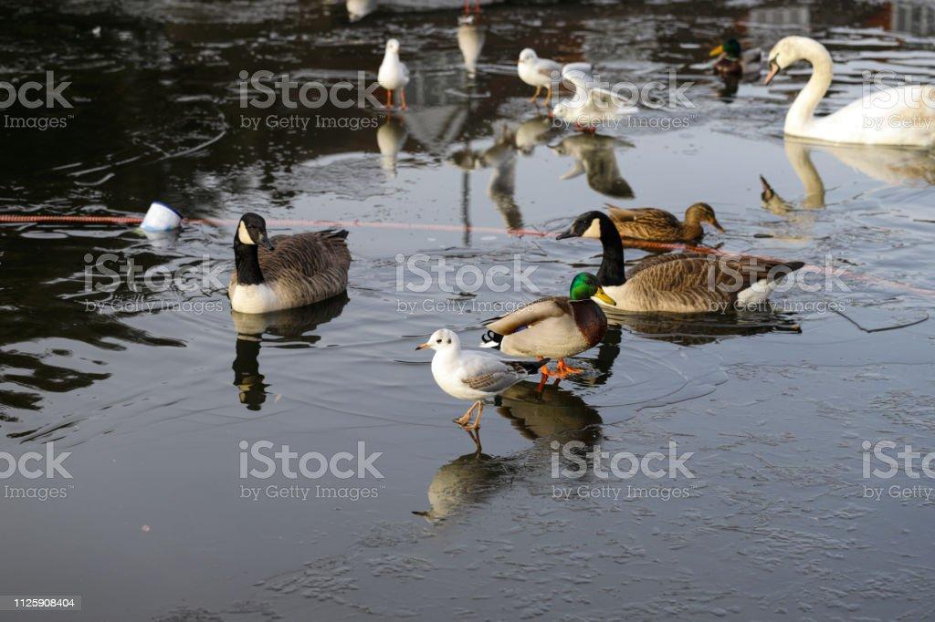 Water birds at Mitcham Pond in Surrey England stock photo