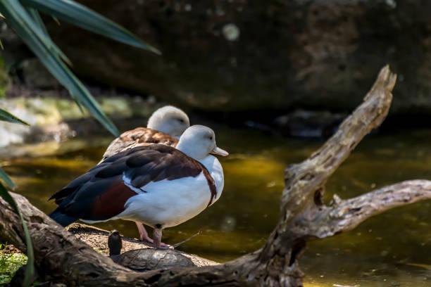 Wasservögel, Enten, die an einem sonnigen und heißen Tag im Sommer am Wasser stehen. – Foto