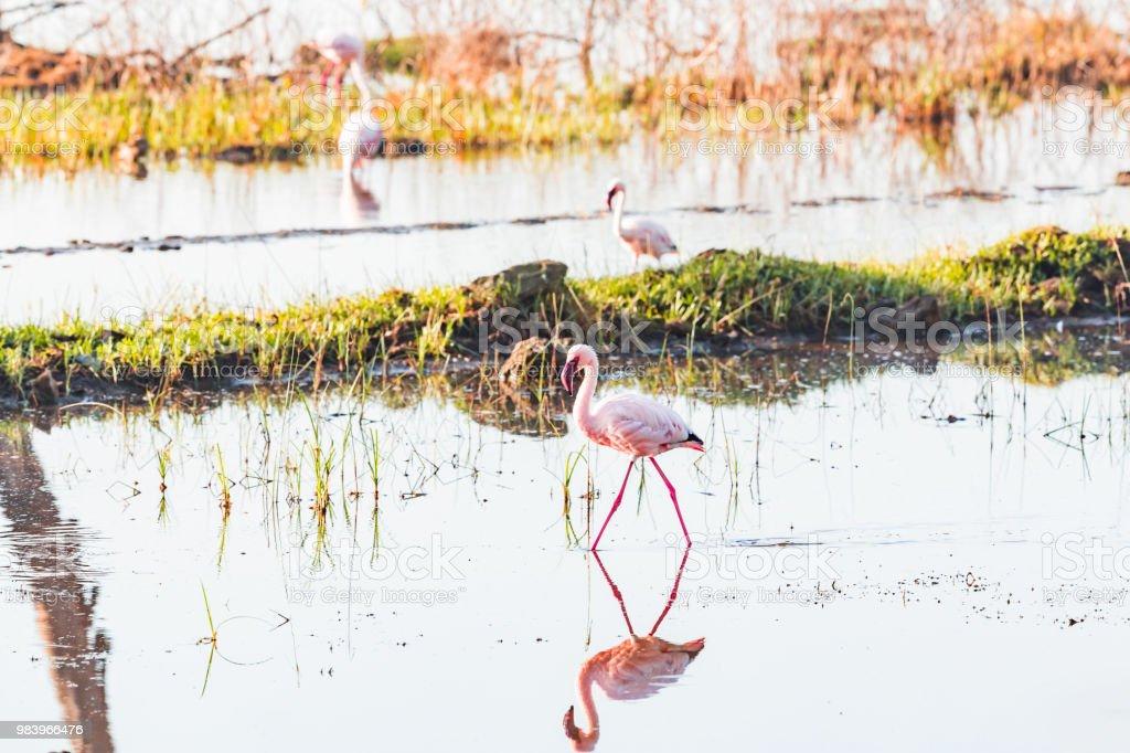 su kuşları, flamingolar, Nakuru Gölü stok fotoğrafı
