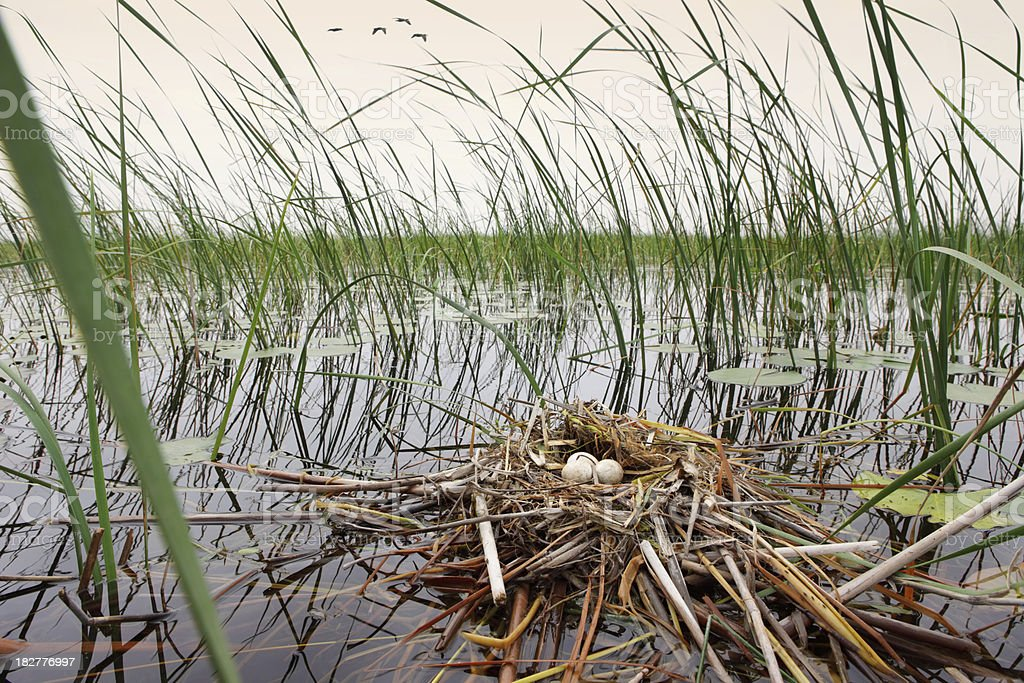 Water Bird's Nest stock photo