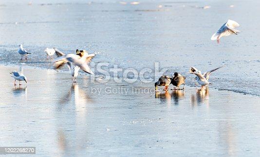 Water Birds on ice, Feeding