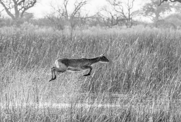 Water buck stock photo