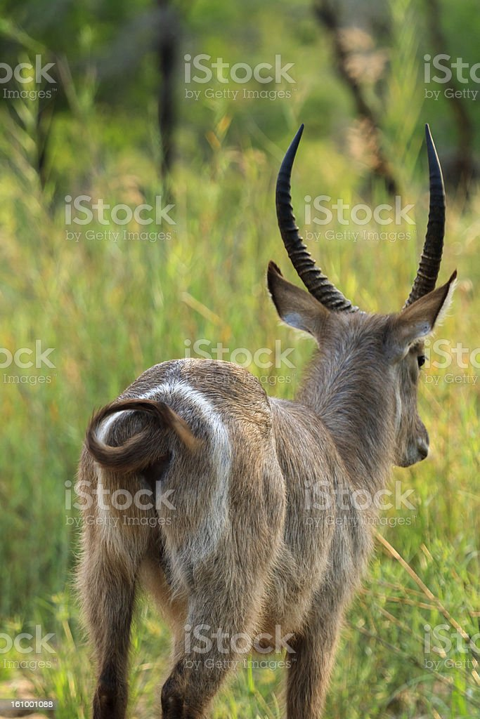 Water Buck royalty-free stock photo