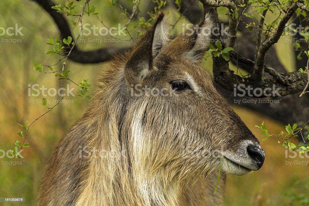 Water Buck royalty-free stock photo