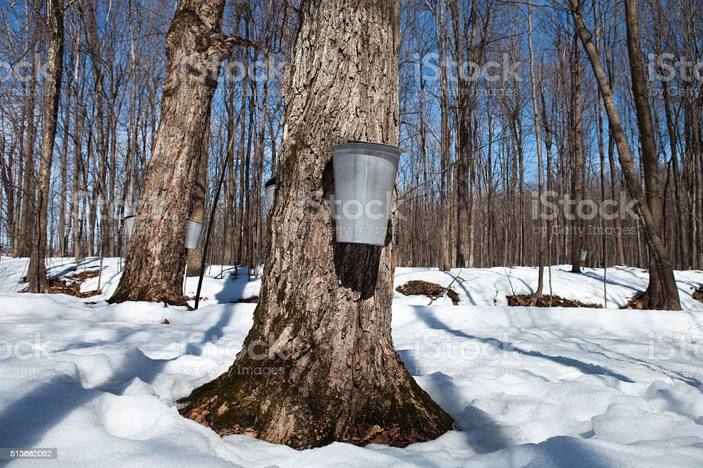 Water Buckets Hanging On Maple Trees stock photo