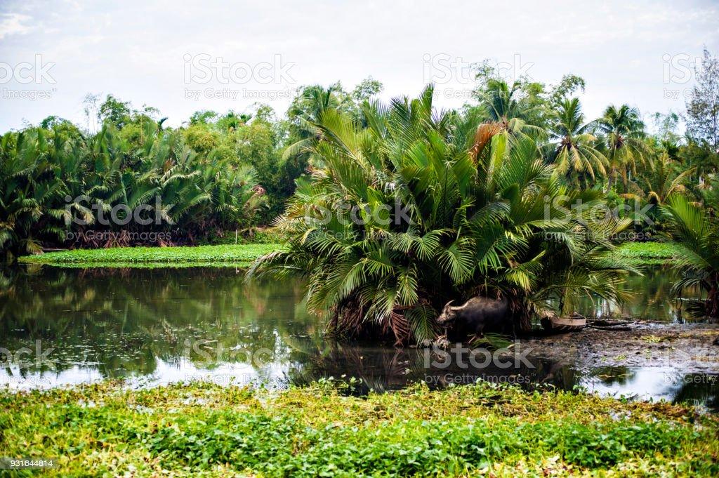 Water Buffalo And Elephant Grass Hoi An Vietnam Stock Photo