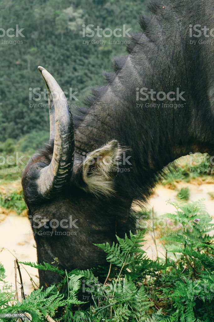 Water buffalo at rice terraces of Northern Vietnam - Zbiór zdjęć royalty-free (Bez ludzi)